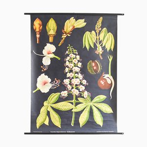 Chestnut Botanical Poster by Jung, Koch, & Quentell for Hagemann
