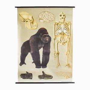 Vintage Gorilla Schulwandkarte von Jung, Koch & Quentell für Hagemann
