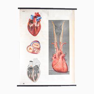 Affiche Anatomique Coeur pour Hagemann, 1960s
