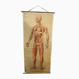 German Anatomical Wall Chart, 1960s