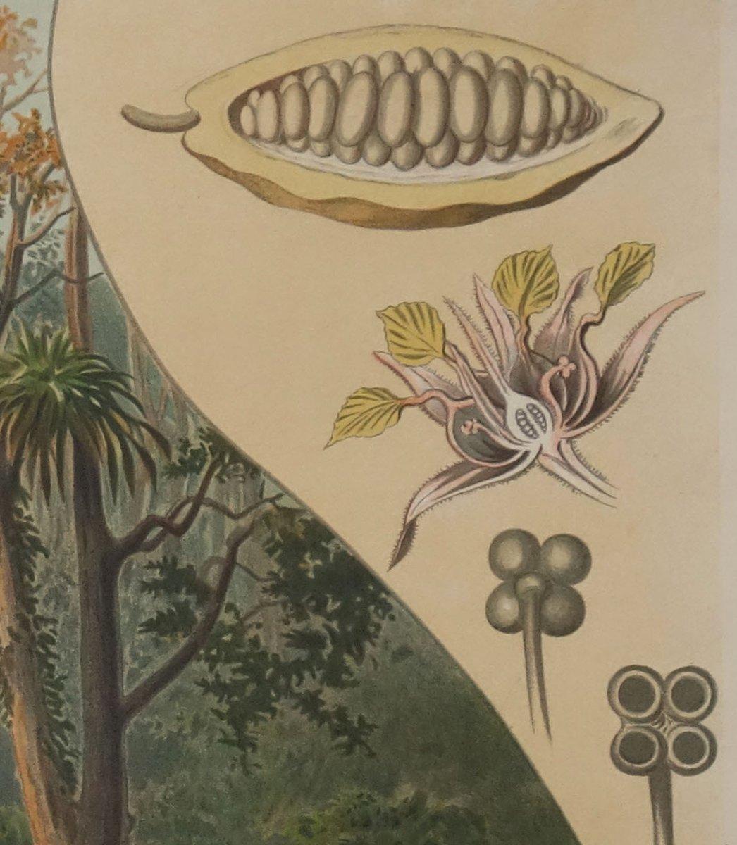 affiche murale antique plantation de cacao par goering schmidt pour f e wachsmuth allemagne. Black Bedroom Furniture Sets. Home Design Ideas