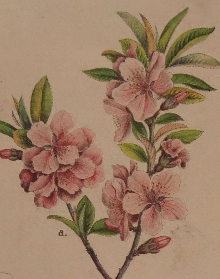 antikes mandelbaum zuckerrohr wandplakat 1870er bei pamono kaufen. Black Bedroom Furniture Sets. Home Design Ideas