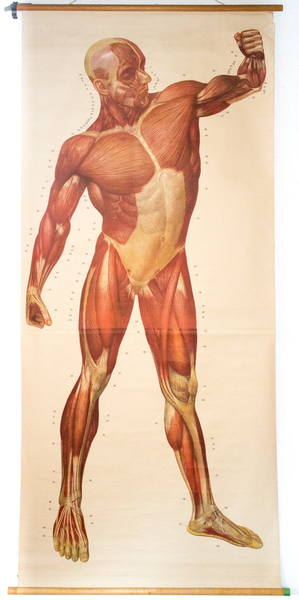 muscles of the human body wall chart from deutsches hygiene, Muscles